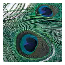 feather-craft FEATHER-CRAFT Peacock Eyes
